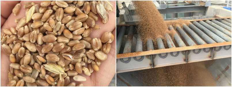 Grain seed processing industry